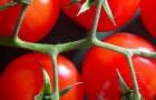 Сорт томата: Анита