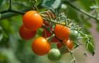 Сорт томата: Аран 735