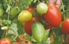 Сорт томата: Арбалет