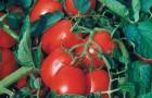 Сорт томата: Астерикс f1