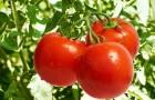 Сорт томата: Атаман