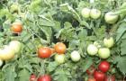 Сорт томата: Атлет f1