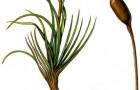 Атрактилокарпус альпийский