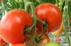Сорт томата: Азарро f1