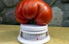 Сорт томата: Бабай f1