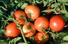 Сорт томата: Багира f1