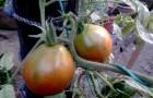Сорт томата: Бедуин