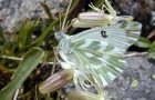 Белянка хлоридика, или степная