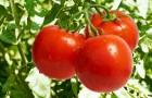 Сорт томата: Берег дона