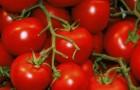 Сорт томата: Бисквит f1