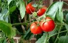 Сорт томата: Болеро f1