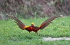 Болезнь фазанов – Атрофия мускульного желудка