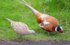 Болезнь фазанов – Гастроэнтерит
