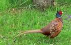 Болезнь фазанов – Гиповитаминоз В1