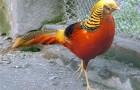 Болезнь фазанов – Гистомоноз