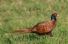 Болезнь фазанов – Кутикулит (диетическая болезнь мышечного желудка)