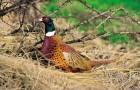 Болезнь фазанов – Недостаточность фолиевой кислоты