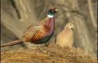 Болезнь фазанов – Орнитоз