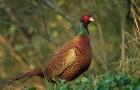 Болезнь фазанов – Пастереллез