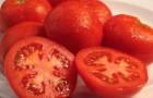 Сорт томата: Булава f1