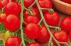 Сорт томата: Бусинка f1