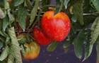 Сорт томата: Буй тур