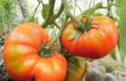 Сорт томата: Данко