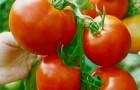Сорт томата: Дельта 264