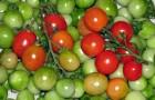 Сорт томата: Дерсу