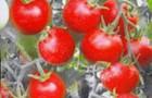 Сорт томата: Детский сад f1