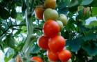 Сорт томата: Диоранж f1