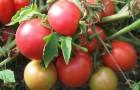 Сорт томата: Днестровский жемчуг f1