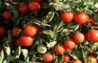 Сорт томата: Дорис