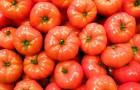Сорт томата: Др 7847 тч f1