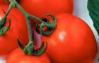 Сорт томата: Дуал эрли f1