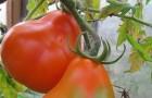 Сорт томата: Дюшес