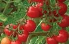 Сорт томата: Дюймовочка