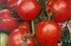 Сорт томата: Джемпакт f1