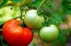 Сорт томата: Елисеевский f1