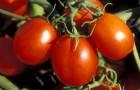 Сорт томата: Ермак