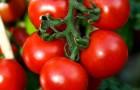 Сорт томата: Евпатор f1
