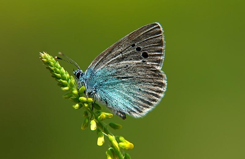 Голубянка черноморская