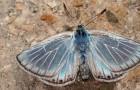 Голубянка эрос