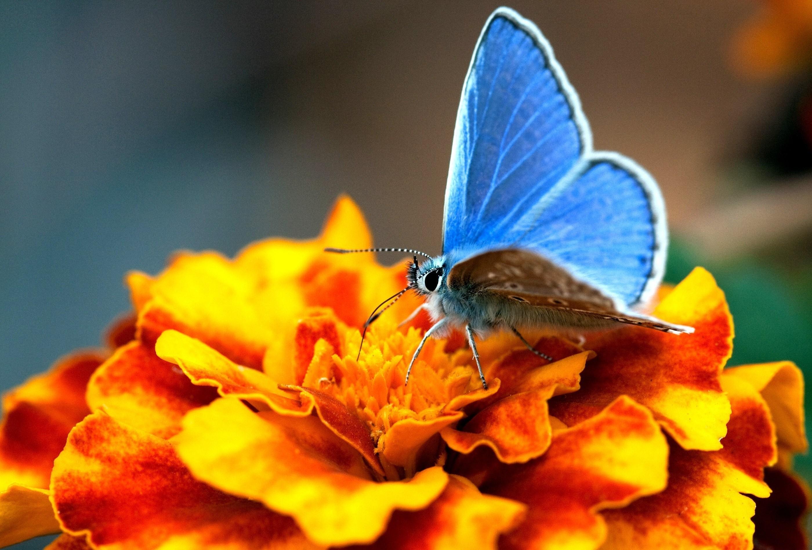 Голубянка эротида