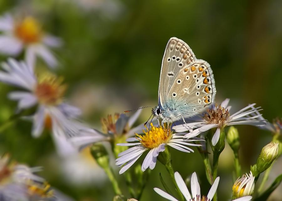 Голубянка малая