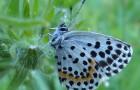 Голубянка орион