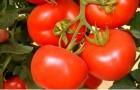 Сорт томата: Госпожа f1