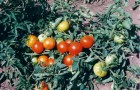 Сорт томата: Грот