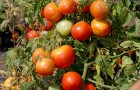 Сорт томата: Гс 12 f1