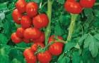 Сорт томата: Гяур f1